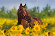 Bay horse in bridle in sunflowers