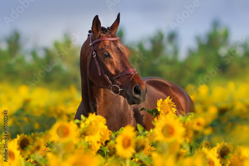 Foto op Canvas Paarden Bay horse in bridle in sunflowers