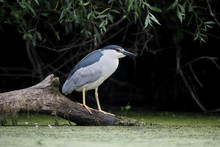 Black-crowned Night-heron, Nyc...