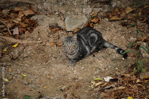 chat tigré dans la terre Wallpaper Mural