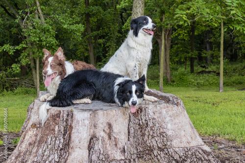 Fotografia Border Collies on a Tree Stump