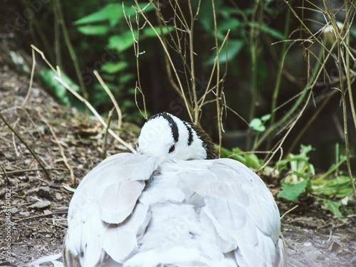 Fotografie, Obraz  Sleepy bird