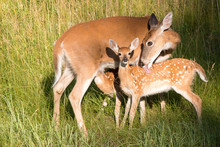 Mother Deer Tending To Her Two Fawns