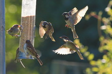 Group Of Sparrows Eating Seeds...