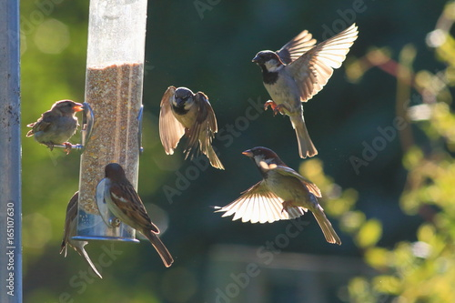 Fotomural Group of sparrows eating seeds from garden bird feeder on a sunny morning