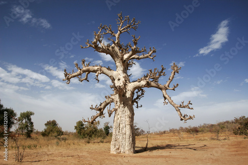 Bare baobab tree