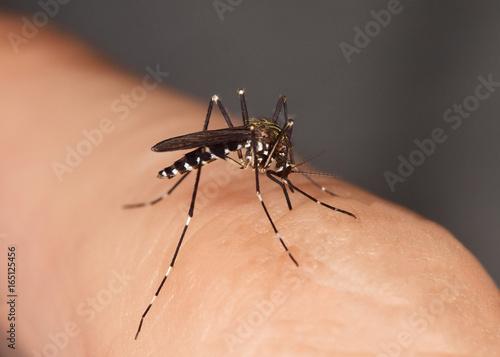Mücke stechend Stechmücke, Gelse, Asiatische Tigermücke, Tigermoskito, Aedes albopictus