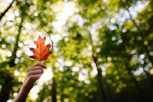Red Oak Leaf In Autumn