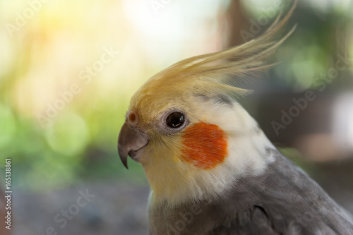 Valokuva  Close-up photos Beautiful bird of cockatiel (Nymphicus hollandicus)