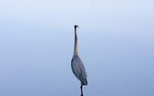 Wild Great Blue Heron Standing In Water