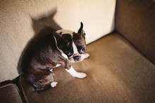 A Boston Terrier Sitting On A ...