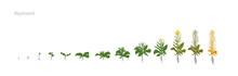 Rapeseed Brassica Napus Oilsee...