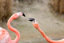 Two Flamingo's Having A Fight