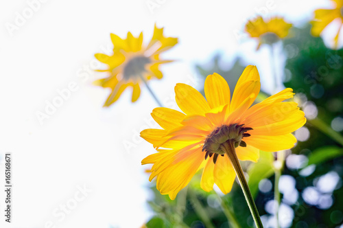 Photo Arnica flower blossoms