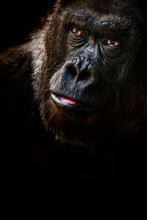 Lowland Gorilla In Thought