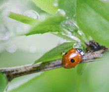 Ladybug On Tree Branch