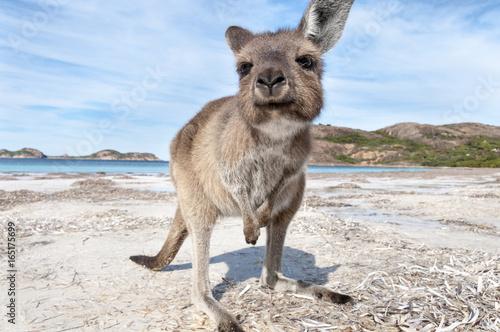 Foto op Aluminium Kangoeroe KANGAROO BEACH AUSTRALIA