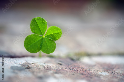 Four leaf clover grows between paving stones, symbol for luck, fortune and assertiveness of nature, close up with copy space in the blurred background