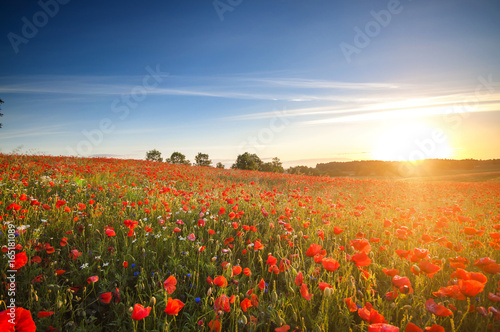 Poster Bleu nuit Red Wild poppies in the meadow at sunset, amazing background photo. To jest Polska – Mazury