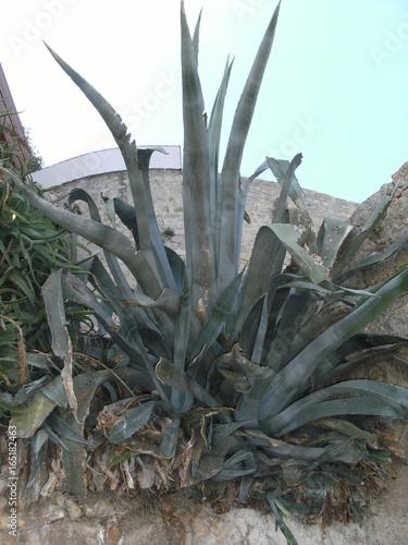 Papiers peints Cactus CORSE ILE DE BEAUTE