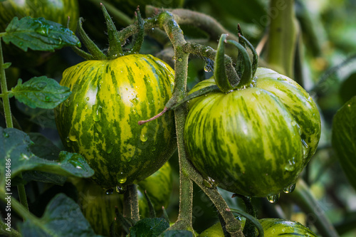 Cadres-photo bureau Zebra Tomato, crisp and fresh