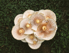 Mushrooms Growing In Clover An...
