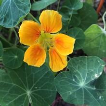 Yellow And Orange Nasturtium Flower