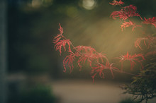 Japanese Maple In Late Afterno...