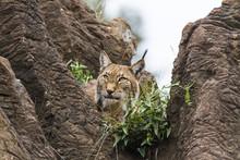 Lynx Looking Skyward