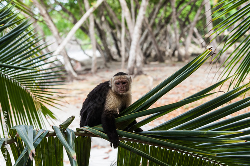 Fototapeta White-headed capuchin in Manuel Antonio National Park, Costa Rica