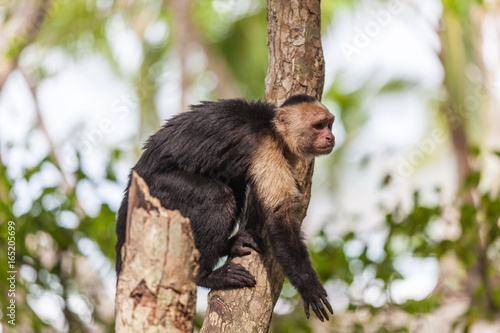 Fényképezés  White-headed capuchin in Manuel Antonio National Park, Costa Rica