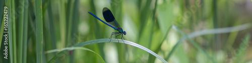 Blauflügel-Prachtlibelle auf Schilfblatt