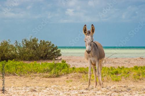 Donkey beside the beach at Cabo de la Vela