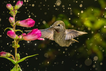 Hummingbird Visits Flowers In ...