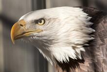 American Bald Eagle Portrait Head Shot Captive Bird
