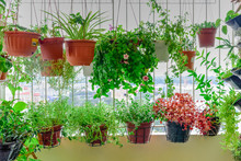 Home Grown Flowers And Herbs In The Hanging Pots At Balcony At Ang Mo Kio Area. Growing A Garden In A Sharing Apartments Balcony/corridor Is Popular In Singapore. Great For Urban Farm Publications.