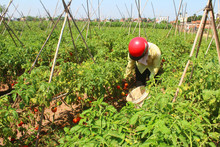 Farmer Picking Ripe Tomato In ...
