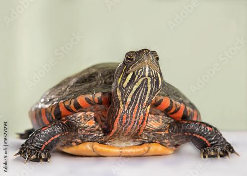 Платно Chrysemys picta dorsalis Wasserschildkröte Nahaufnahme