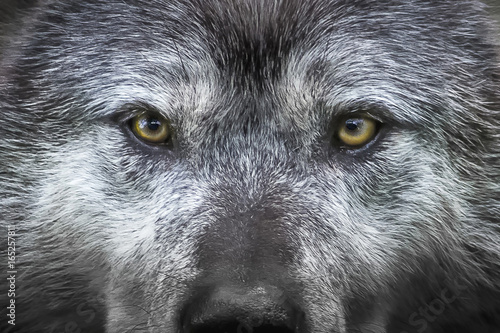 Photo sur Toile Loup wolf eyes