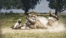 Grey Horse Lies On His Back , Rolling And Kicking At Pasture Background. Happy Horses Lifestyle And Appropriate Attitude
