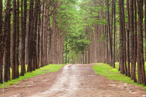 Foto op Canvas Weg in bos Beautiful landscape of Pine tree on tropical forest in the morning