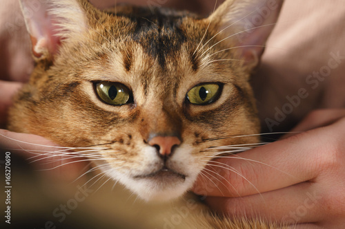 Keuken foto achterwand Kat Teen girl with sad abyssinian cat on knees sitting on couch