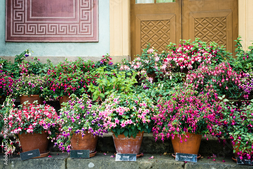 Carta da parati Variety of fuchsia in pots outside Chinese pavilion in Drottningholm Palace whic
