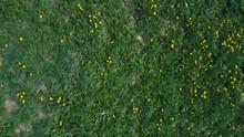 Flight Over The Green Meadow Of Yellow Dandelions In Summer