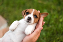 Man Holding Cute Puppy Jack Russel In Hands.