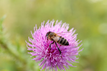 The Thistle And The Bee Collec...