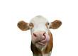 canvas print picture - Freigestellte Kuh mit Zunge in der Nase