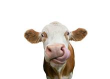 Freigestellte Kuh Mit Zunge In Der Nase