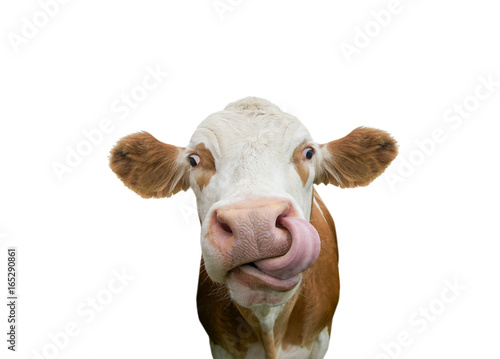 Keuken foto achterwand Koe Freigestellte Kuh mit Zunge in der Nase