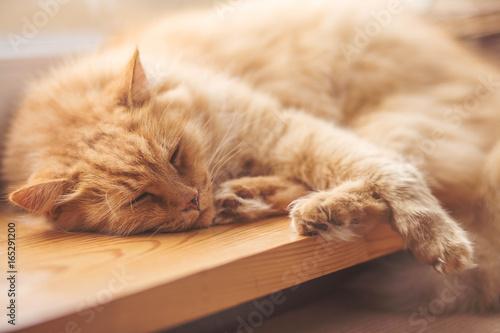 Fototapeta kot śpiący obraz